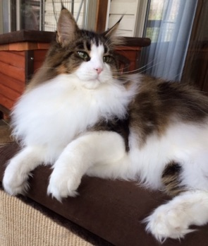 Norwegian Forest Cat For Sale Singapore